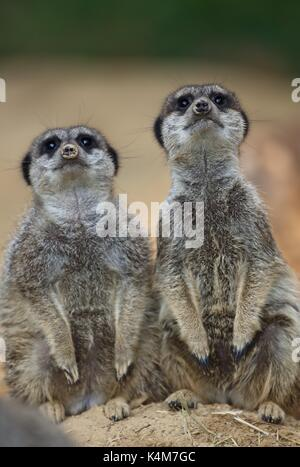 Concept alertness observant wildlife zoo animals community, copy space Meerkats (Suricata suricatta), captive - Stock Photo