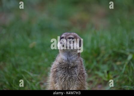 Meerkat (Suricata suricatta), captive, in zoo - Stock Photo