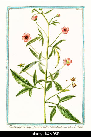 Old illustration of  Alcea vulgaris major, (Malva moschata). By G. Bonelli on Hortus Romanus, publ. N. Martelli, - Stock Photo