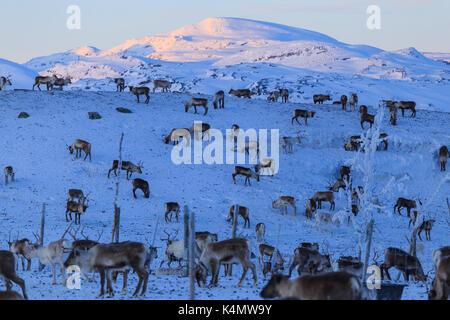 Reindeer grazing, Riskgransen, Norbottens Ian, Lapland, Sweden, Scandinavia, Europe - Stock Photo