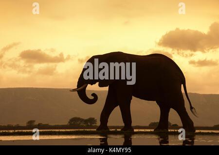 African elephant (Loxodonta Africana) bull at dusk, Zimanga Private Game Reserve, KwaZulu-Natal, South Africa, Africa - Stock Photo