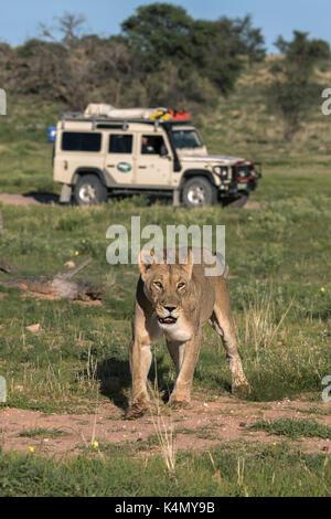 Lion (Panthera leo) with safari tourists, Kgalagadi Transfrontier Park, Northern Cape, South Africa, Africa - Stock Photo