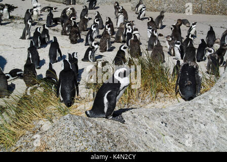 AFRICAN PENGUINS (SPHENISCUS DEMERSUS) RESTING ON GRANITE BOULDERS AT FOXY BEACH, CAPE PENINSULA, SOUTH AFRICA - Stock Photo