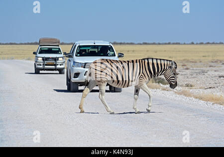Zebra crossing; A Burchell's (Plains) Zebra crosses the road in the Etosha National Park causing a bit of a traffic - Stock Photo