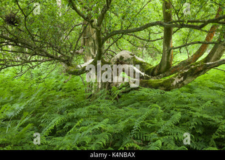 An old silver birch tree (Betula pendula) with spreading moss-covered branches growing among lush green bracken - Stock Photo