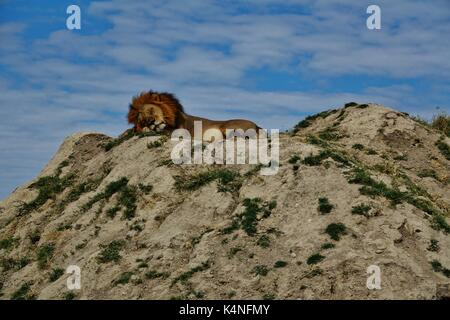 Lion sleeping on hill - Stock Photo