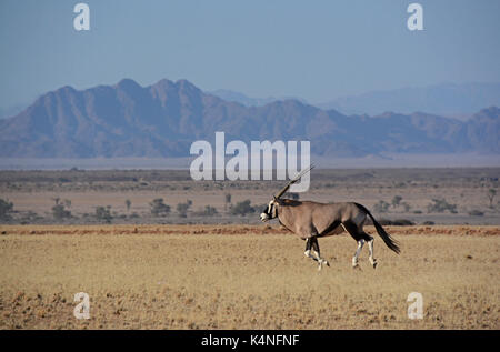 Oryx on the run. Taken in the Namib-Naukluft National Park, Namibia - Stock Photo