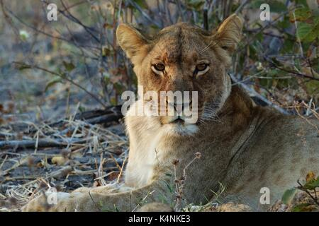 Lioness looking - Stock Photo