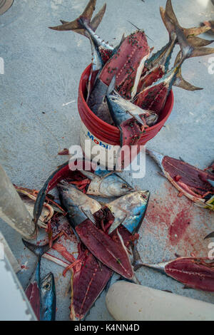FORT LAUDERDALE, USA - JULY 11, 2017: Tuna fish bait with some fly over the fish, inside of a red bail used for - Stock Photo