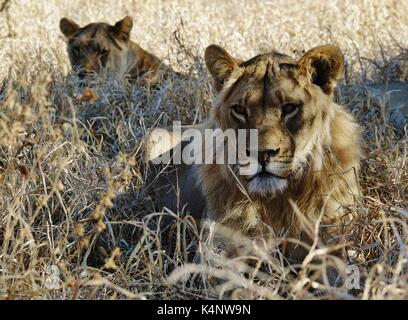 Two lions resting - Stock Photo