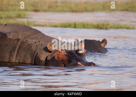 Wild Hippopotamus mostly submerged in the Chobe River in Botswana - Stock Photo