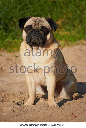 Pug portrait - Stock Photo