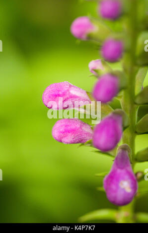 The Obedient plant or false dragonhead add late season colour to the garden. - Stock Photo
