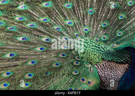 Close-up of a colorful Peacock (Indian peafowl or blue peafowl (Pavo cristatus)) displaying. - Stock Photo