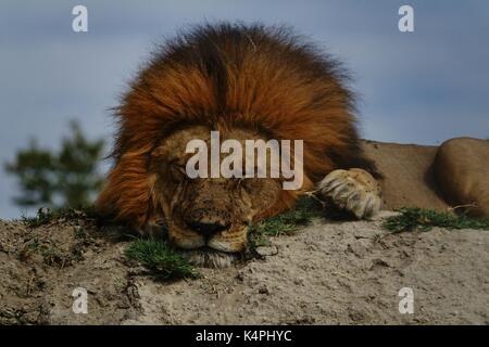 Male African lion sleeping close up - Stock Photo