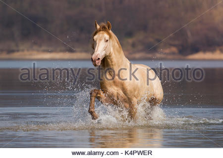 Golden Andalusian stallion in water - Stock Photo
