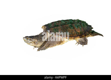 Common snapping turtle (Chelydra serpentina), isolated on white background. - Stock Photo