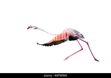 Lesser flamingo (Phoeniconaias minor) taking off, isolated on white background. - Stock Photo