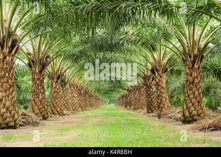 beautiful of unmatured oil palm tree in a field - Stock Photo