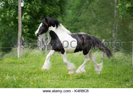 Black and white Gypsy Horse Cob Vanner colt - Stock Photo