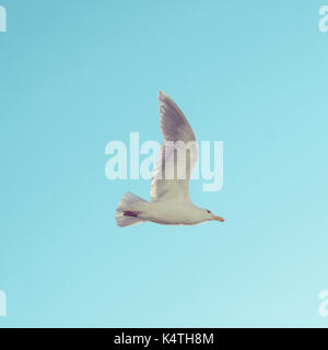 Image of a Western Gull (Larus Occidentalis) in flight. Larus occidentalis - Stock Photo