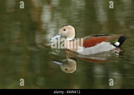 A Ringed teal or Ringed-necked Teal (Callonetta leucophrys) swimming in a stream. - Stock Photo