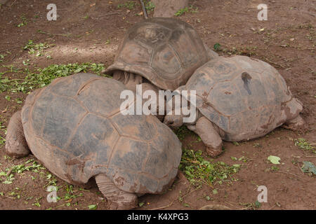 giant turtles in the land of a thousand colors in Mauritius island - Stock Photo