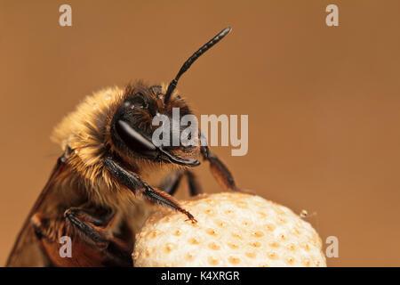 Mining Bee - Stock Photo