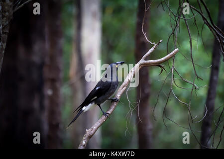 Pied Currawong (Strepera graculina) is a medium-sized black passerine bird native to eastern Australia and Lord - Stock Photo