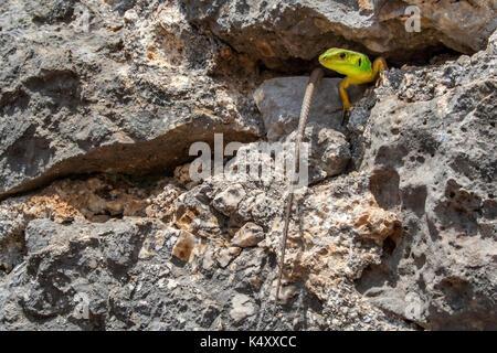 European Green Lizard (Lacerta Viridis) on rock at the castle of Parga - Stock Photo