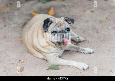 Tired cute brown pug dog sitting in dirt with tongue out, Pug dog looking for owner in dirt - Stock Photo