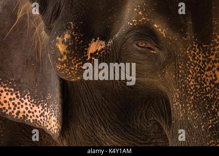 Close-up Thai elephant with sad eyes, head shot, natural light - Stock Photo