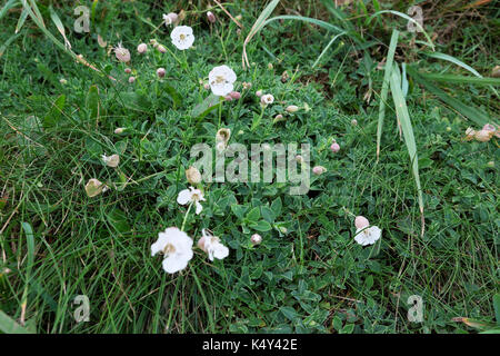 Sea campion or silene uniflora low growing white wildflower growing on a Pembrokeshire cliff still flowering in - Stock Photo
