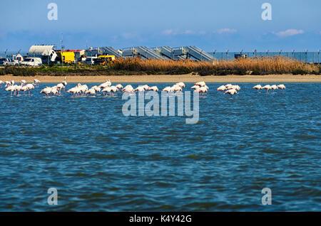 Flamingo on the salt lake in Larnaca, Cyprus. - Stock Photo