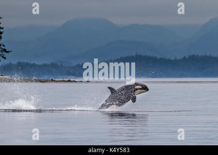 Killer whale breaching off Donegal Head of Malcolm Island - Stock Photo