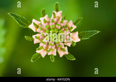 Lantana camara flower in Turkey - Stock Photo