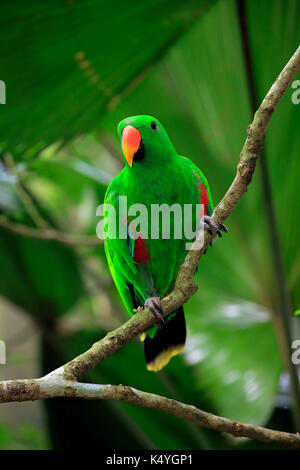 Eclectus Parrot (Eclectus roratus), adult, male, on the lookout, captive, native to Asia - Stock Photo