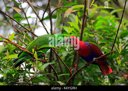 Eclectus Parrot (Eclectus roratus), adult, female, male, social behavior, couple, on the lookout, captive, native - Stock Photo
