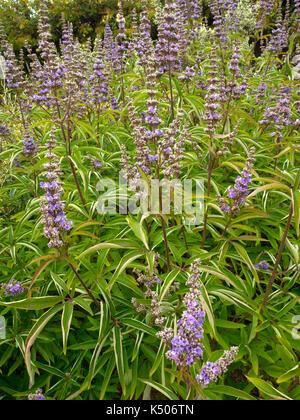 Flowers of Vitex agnus-castus Broad-leaved chaste tree - Stock Photo