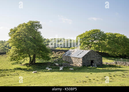 Old Stone Barn Surrounded By Sheep In The Welsh Countryside Near Harlech