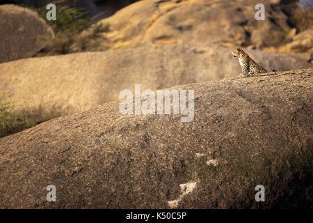 Leopard sitting on a large rock, Jawai, India - Stock Photo