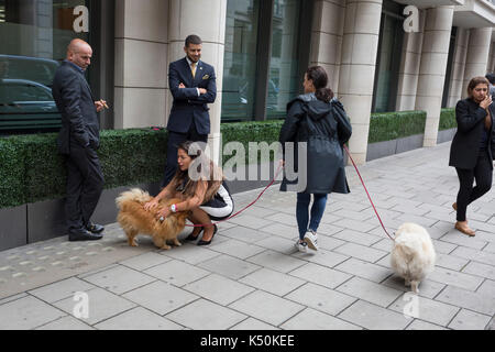 A family of pomeranian dogs (aka Zwergspitz) are being taken out for their regular walk by their owners around the - Stock Photo