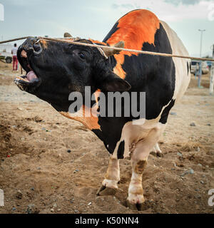 Bulls are tied as they await their turn to fight in traditional bull fighting in Fujairah, UAE - Stock Photo