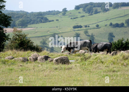 Minchinhampton Common in the southern Cotswolds Gloucestershire England UK. August 2017. Cattle grazing - Stock Photo