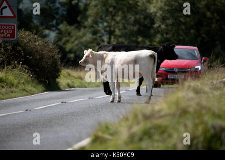 Minchinhampton Common in the southern Cotswolds Gloucestershire England UK. August 2017. Cattle crossing a road - Stock Photo