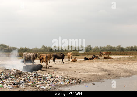 Cows in trash - Stock Photo