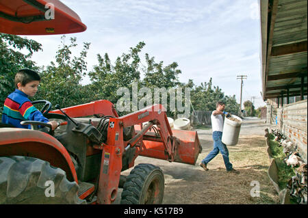 Farmer feeding Alfalfa Pellets to dairy goats, 'Capra aegagrus hircus', young son maneuvering Kubota tractor. - Stock Photo