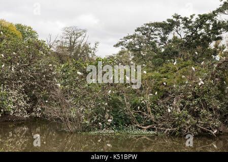 Egret colony roosting on the lake in the Botanical and Zoological Garden of Tsimbazaza, Antananarivo, Madagascar - Stock Photo
