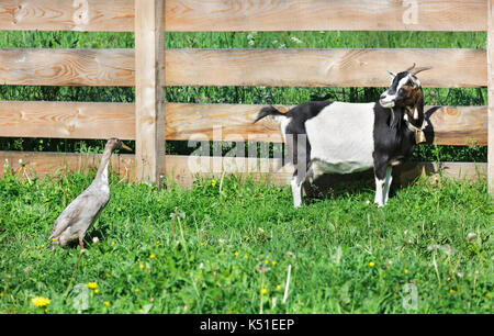 goat and duck in the barnyard - Stock Photo