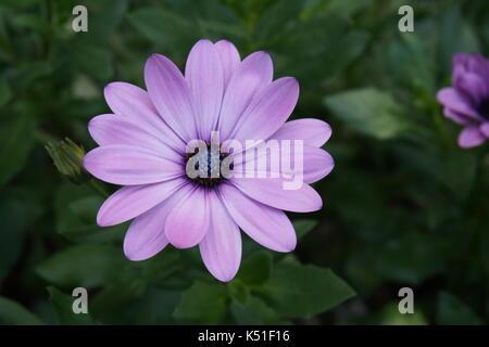flower pink purple gerbera summer garden - Stock Photo